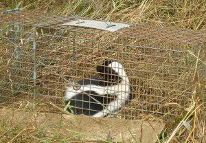 skunk in humane trap