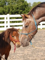 pony and horse nose to nose