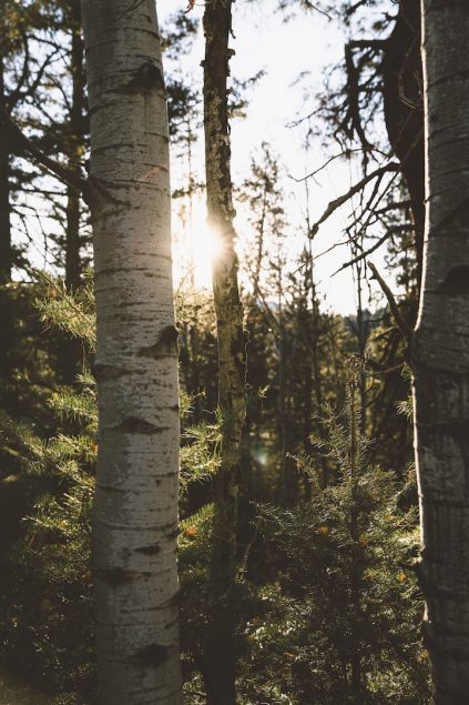 aspen trees in a forest, sun shining through the trees