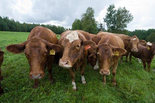 beef cattle in a pasture