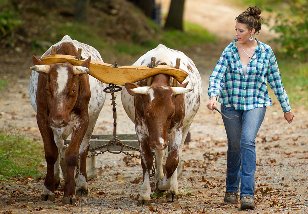 young woman leads two yoked oxen down dirt road