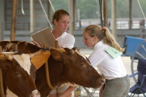 4-Her competes in working steer competition at county fair