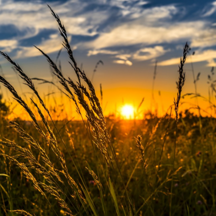 close up photo of wheat with sunset in background