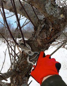 Pruning woody landscape plants