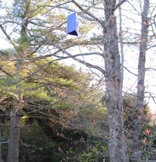 Emerald Ash Borer Trap on an Ash tree