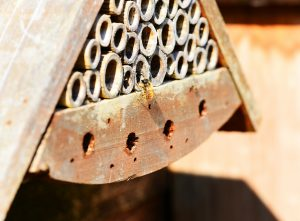 Red Mason Bee with bee house