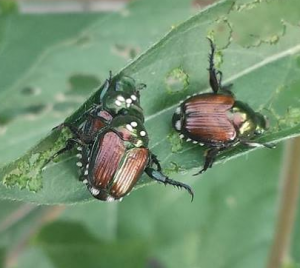 Japanese Beetles on leaves