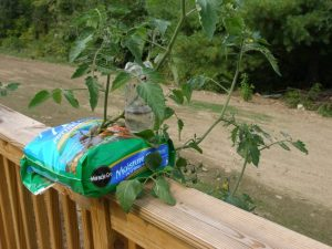 Tomato plant in a potting soil bag