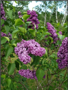 a bush of lilacs