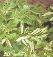 potato leafroll virus