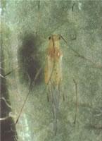 winged potato aphid