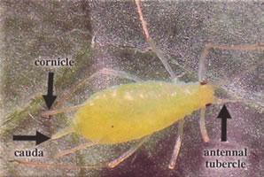 wingless potato aphid