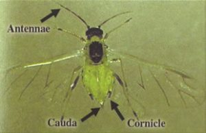 Wingled Buckthorn Aphid