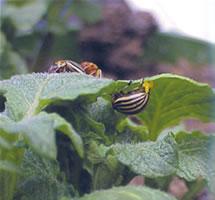adult beetles on leaves