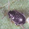 Potato Flea Beetle