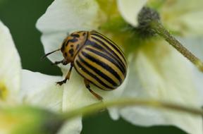 beetle on potato blossom; photo by Edwin Remsberg