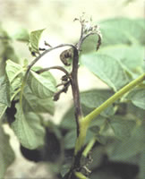 stems and petioles infected with Late Blight