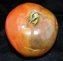 Late blight symptoms on tomato fruit