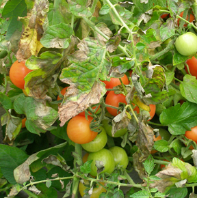 tomato plant affected by late blight