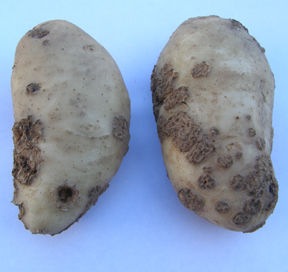 Tubers with scab symptoms