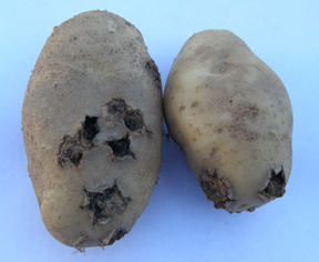 Tubers with deep-pitted scab symptoms