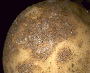 Tuber with russetted scab symptoms