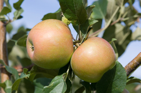 apples ripening on the tree; photo by Edwin Remsberg, USDA