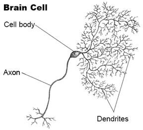 illustration of a brain cell, showing cell body, axon, and dendrites