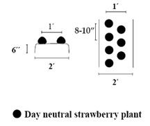 Annual raised bed system of growing day neutral strawberries.