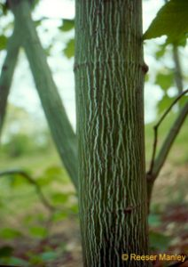 Acer pensylvanicum tree trunk.