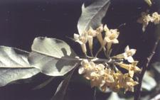 Autumn Olive Flowers