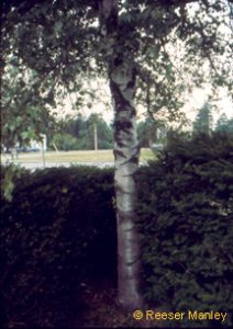 Betula populifolia.