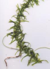 Brazilian waterweed