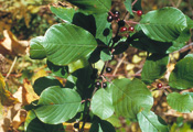 Glossy Buckthorn