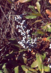 Myrica pensylvanica berries.