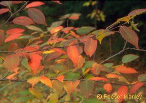 Carpinus caroliniana autumn foliage