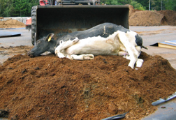 composting a cow carcass