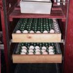 Trays of eggs and humidity pan in forced-draft cabinet incubator; photo by Robert Hawes