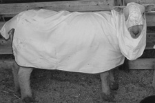 Wool blanket covering used to keep sheep clean and produce higher quality wool.