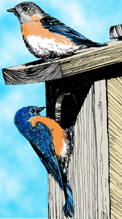 illustration of two bluebirds on a bird house; illustration by C. Eves-Thomas
