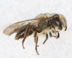 vernal miner bee, male