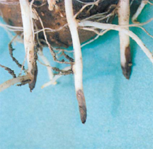 Potato stolons nipped by Rhizoctonia