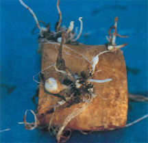 Potato no top resulting from Rhizoctonia infection.