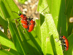 Mating LLB Adults on Oriental Lily
