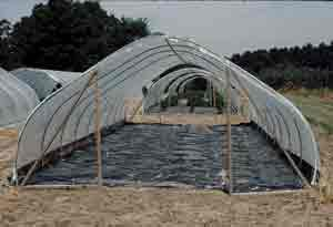 Hoop houses cover tomato plantings that are mulched with black plastic