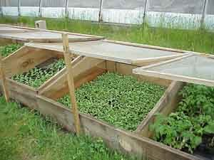 Cold frames with covers open for ventilation