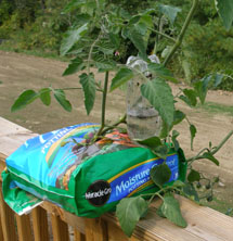 Growing a tomato in a bag.