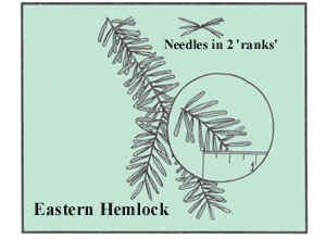 Eastern Hemlock has flat, blunt needles about 1/3 to 2/3 inches long.