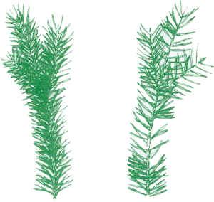 double needle balsam twig
