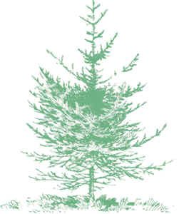 fir tree with stunted lower branches